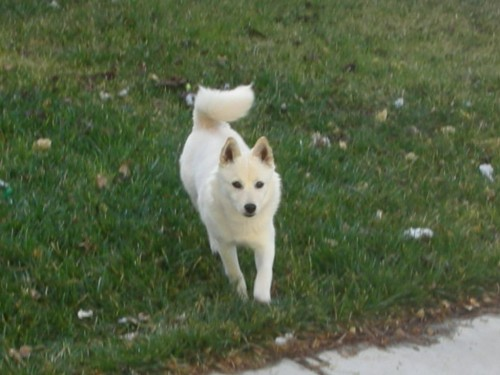 Imo inu american eskimo and shiba inu mix pictures and information