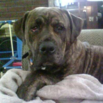English Bullweiler - Bulldog and Rottweiler Mix Pictures ...
