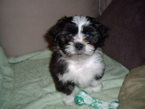 Havashu - Havanese and Shih Tzu Mix Pictures and Information