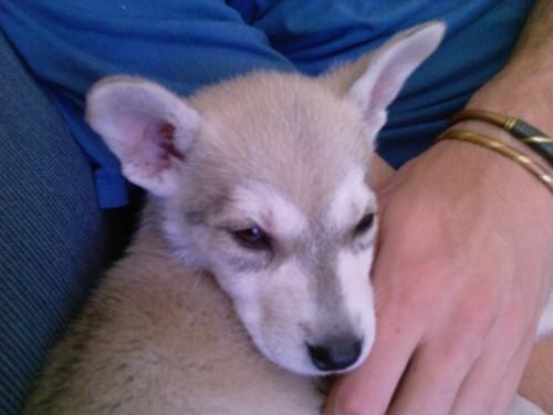 alusky siberian husky malmute hybrid dog