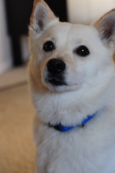 Adult Imo Inu Hybrid Dog