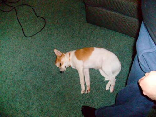 Rat-A-Pap hybrid dog