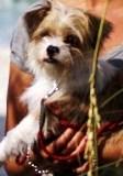 Ratshi hybrid dog