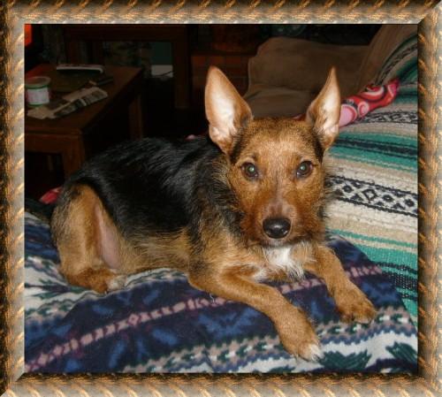 Rustrailian Terrier hybrid dog