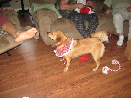 Pomeagle beagle pomeranian mix.
