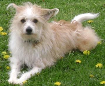 fo-chon bichon frise toy fox terrier hybrid