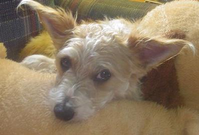 fo-chon hybrid dog