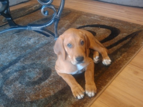 Labloodhound Puppy