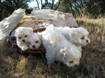 Adorable Zuchon Puppies
