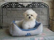 Zuchon hybrid dog