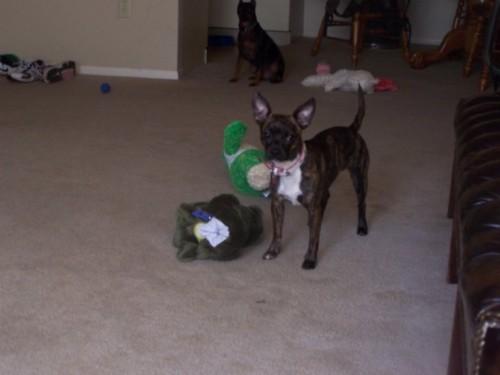 Bospin hybrid dog