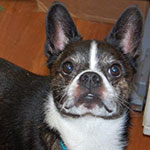 Bostillon - Boston Terrier Papillion mix