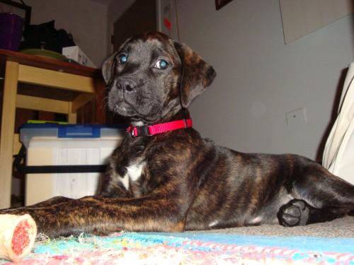 boxador hybrid dog