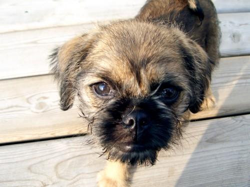 Brug Pug hybrid dog