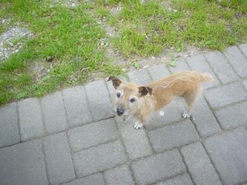Jacairn hybrid designer dog