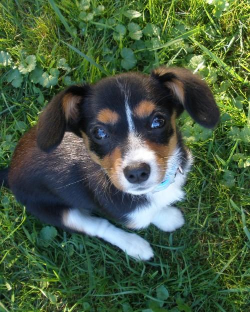 Cava-Corgi hybrid dog