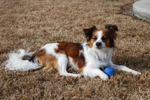 cava-lon hybrid dog