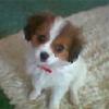 Cavapom hybrid dog