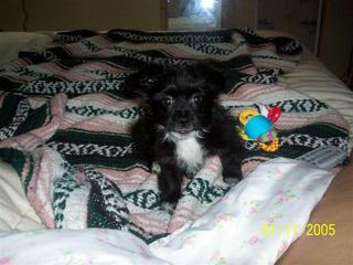 Chi Apso Hybrid Dog