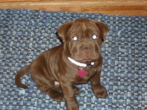 Cocker-Pei puppy
