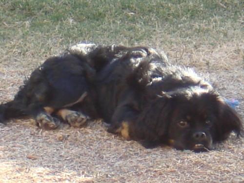 cockinese hybrid dog