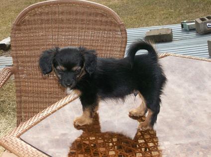 Papshund hybrid dog