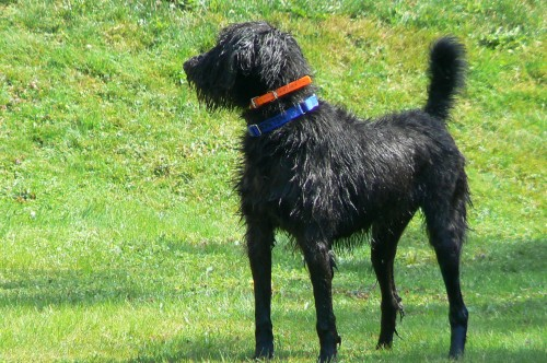 Shepardoodle hybrid dog