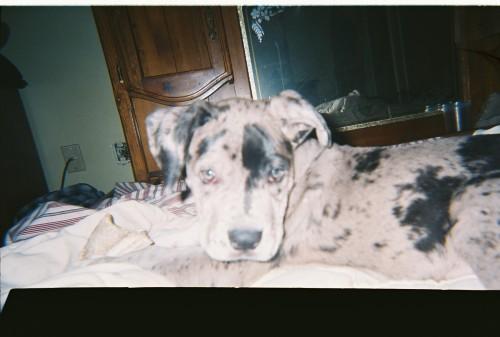 Daniff Hybrid Dog