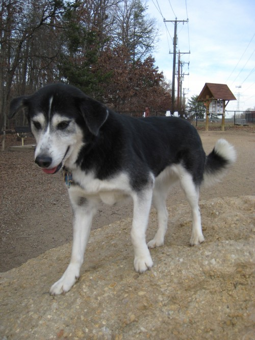 goberian hybrid dog