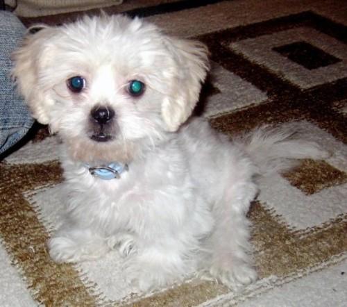 Havapeke hybrid dog