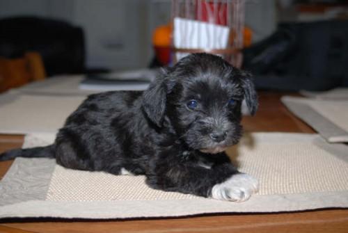 schnese hybrid dog puppy