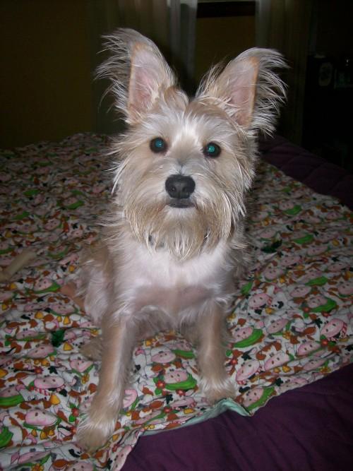 Pom-A-Nauze hybrid dog