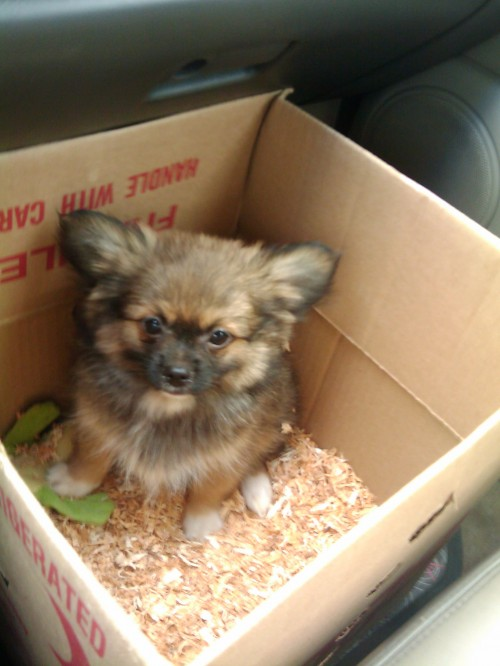 pekingese and pomeranian pominese pekingese and pomeranian mix pictures and 2924