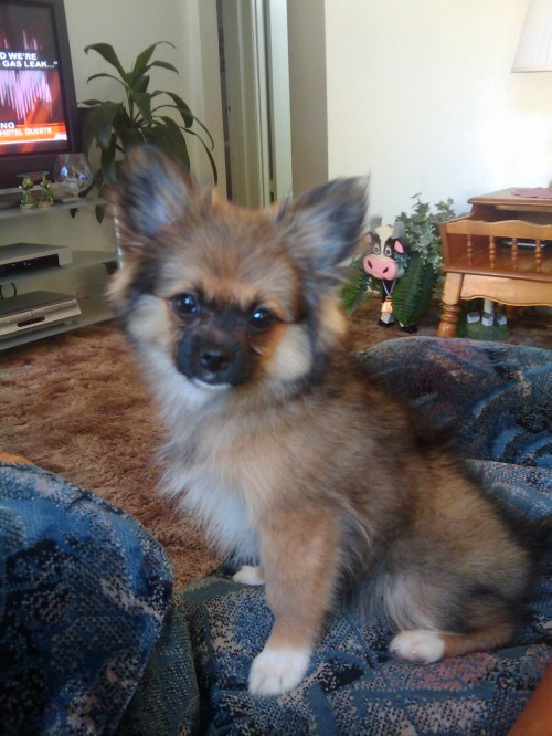 pekingese and pomeranian pominese pekingese and pomeranian mix pictures and 3217