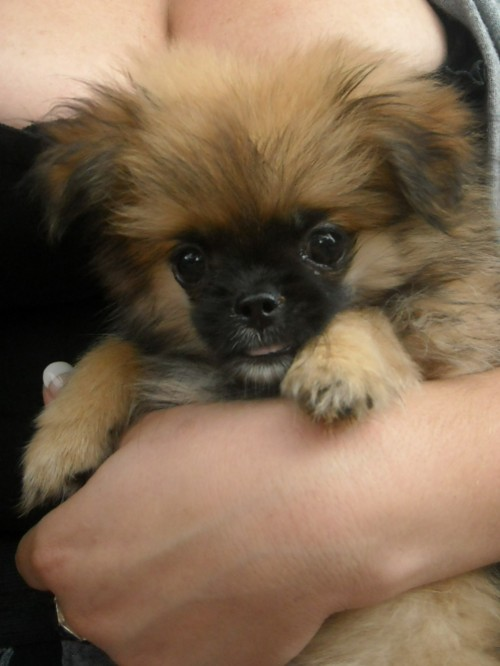 pekingese and pomeranian pominese pekingese and pomeranian mix pictures and 3096