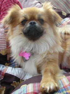Pominese hybrid dog