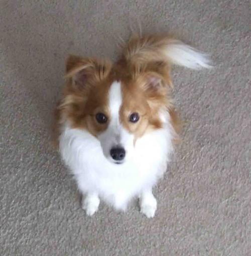 Shelillon hybrid dog