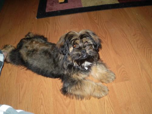 Yorkinese hybrid dog
