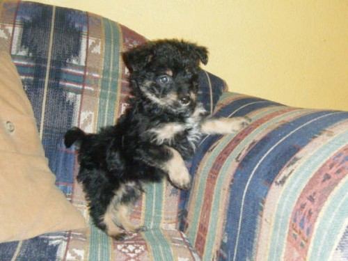 poolky hybrid puppy