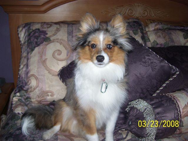 Designer Dog Poshie