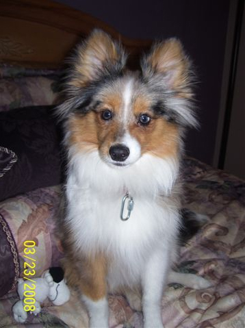 pom sheltie mix poshies pomeranian and sheltie dog mix pictures and
