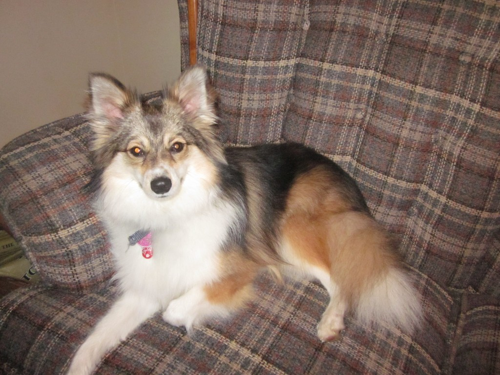 Poshies - Pomeranian and Sheltie Dog Mix Pictures and Information