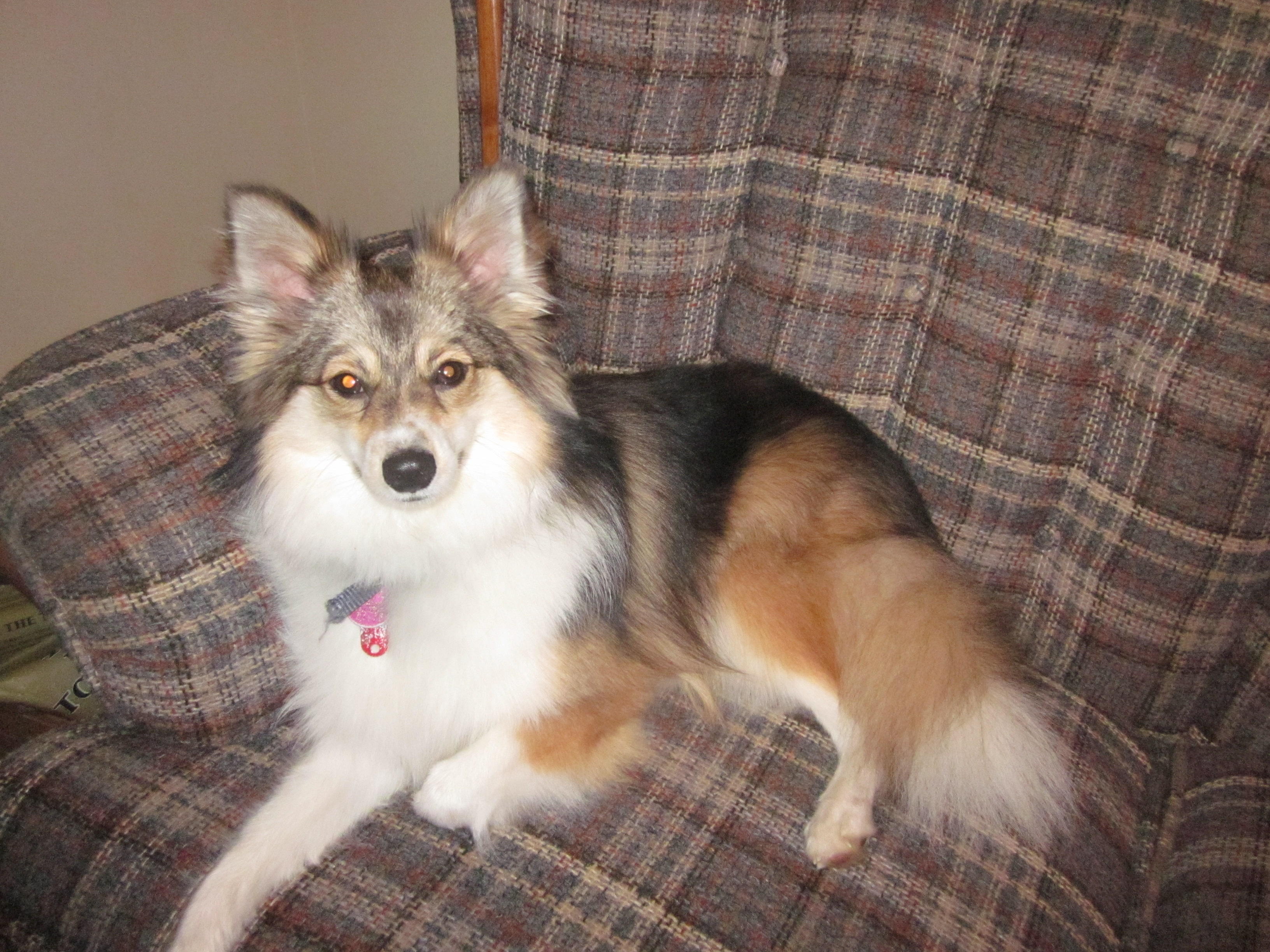 Poshies - Pomeranian and Sheltie Dog Mix Pictures and ... Pomeranian Mix